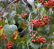 Broad Leaf Mountain Ash - Orange Berries by Sam Matzen