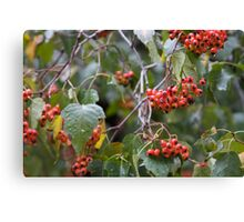 Broad Leaf Mountain Ash - Orange Berries Canvas Print