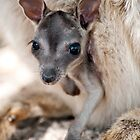 Hanging Out - Mareeba rock wallaby by Jenny Dean