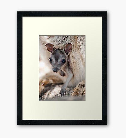 Hanging Out - Mareeba rock wallaby Framed Print