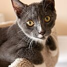 Charlie the Gray and White Kitten by susan stone