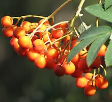 Mountain Ash by Kathi Arnell