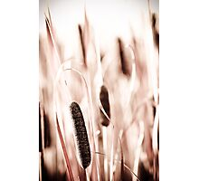 Cattails  Photographic Print