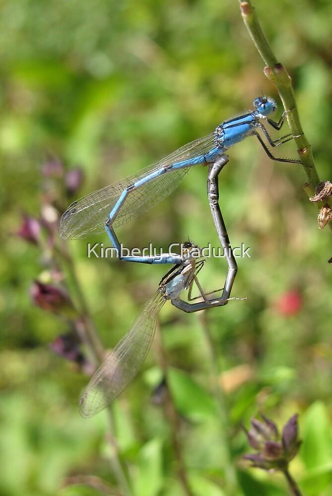 Damselfly ~ Familiar Bluet pair copulating by Kimberly Chadwick