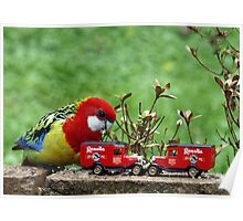 Eastern Rosella plays with his cars Poster