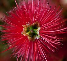 Australian Bottle Brush by wye72