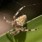 Garden Spider by Glynn May