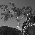 Ghost Gum - Eucalyptus papuana by Alex Colcheedas