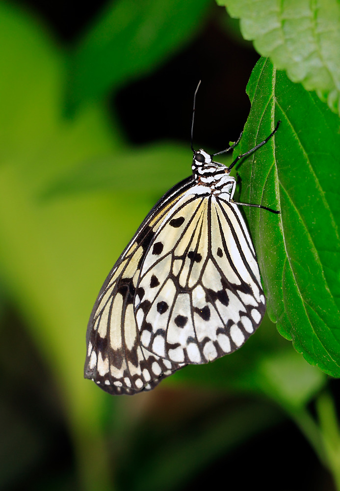 Tree Nymph Butterfly by Grant Glendinning
