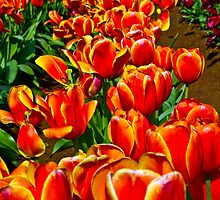 tulips on fire by collpics