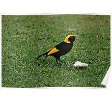 Regent Bower Bird Poster