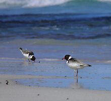 Hooded Plovers - Vivonne Bay, Kangaroo Island, South Australia by Dan & Emma Monceaux