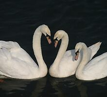 A beautiful Swan song by shrimmer