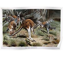 Friedrich Wilhelm Kuhnert A group of Red kangaroos on the move Colour reproduction of Wellcome Poster