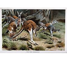 Friedrich Wilhelm Kuhnert A group of Red kangaroos on the move Colour reproduction of Wellcome Photographic Print