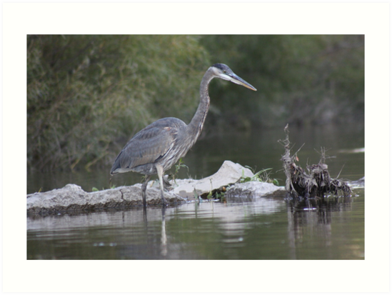 Blue Heron on the Milwaukee River by Thomas Murphy