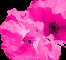 Pink Poppies On Black by Betty Northcutt