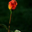 Roses Of Portland ~ Part Six by artisandelimage