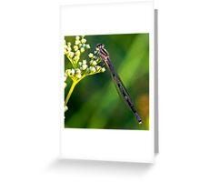 Brown damselfly (Argia-fumipennis). Greeting Card