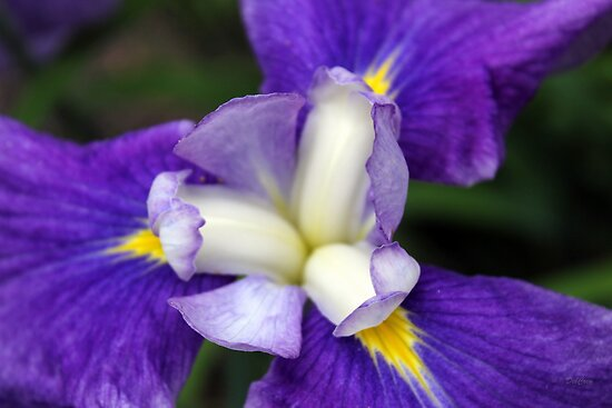 Iris Petals by Deborah Crew-Johnson