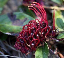 Grevillea laurifolia by andrachne
