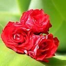 Summer's Roses by Nicki Baker