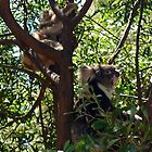 Koalas by Sarah Howarth [ Photography ]