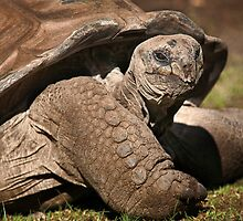 Wild Faces: Giant Tortoise by Christopher Ashdown