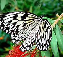 Idea leuconoe,Paper Kite, Rice Paper, or Large Tree Nymph butterfly  by Johan  Nijenhuis