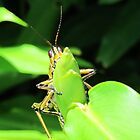 Green Grasshopper  by Cynthia48