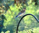 Little Bluebird by Veronica Schultz