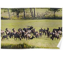 The elk are bugling in western Montana Poster