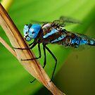 Blue-eyed Darner by loiteke