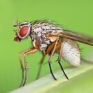 Fly Resting On Leaf by Sarah-fiona Helme