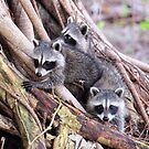Baby Raccoons by Jeff Ore
