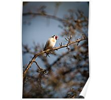 European Goldfinch Poster