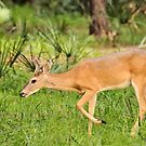 Young Buck (Odocoileus virginianus) by Jeff Ore