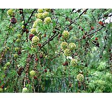 Dream Landscape - The Larch Tree Photographic Print