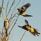 Yellow Crimson Parrots by Bill  Robinson