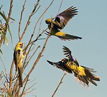 Yellow Crimson Parrots by Bill  Robinson