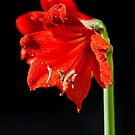 Amaryllis Liberty by Peter Wickham