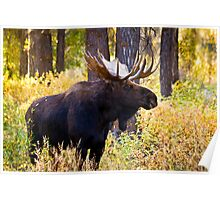 Bull Moose in Fall Foliage Poster