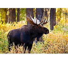 Bull Moose in Fall Foliage Photographic Print