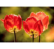 Glowing Red Tulips Photographic Print