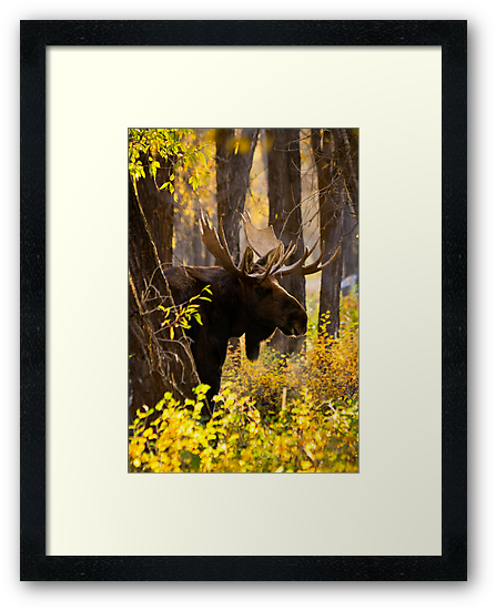 Bull Moose in Fall Foliage by cavaroc