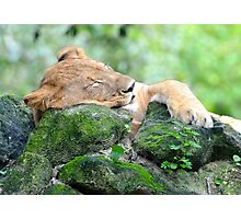 Contended Sleeping Lion Photographic Print