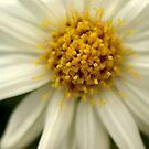 Daisy by Julie Shanahan