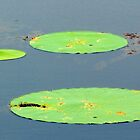 Three Lilly Pads by Cynthia48