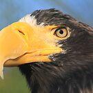 Steller's Sea Eagle (Haliaeetus pelagicus) by DutchLumix