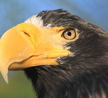 Steller's Sea Eagle (Haliaeetus pelagicus) by DutchLumix